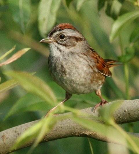 Swamp Sparrow photo #2