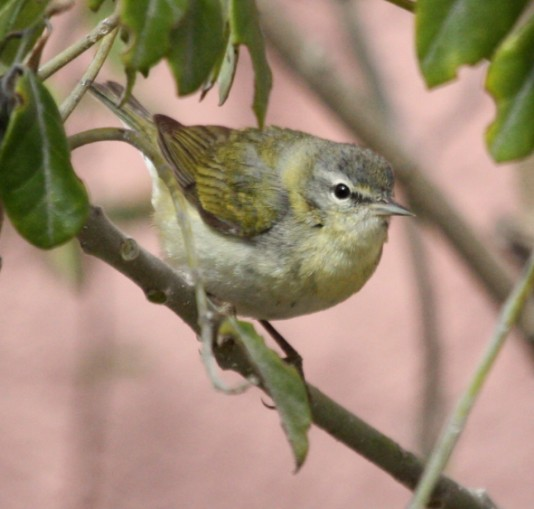 Tennessee Warbler (molting) Photo #1