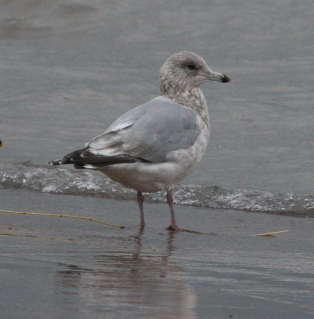 Thayer's Gull (3rd cycle)