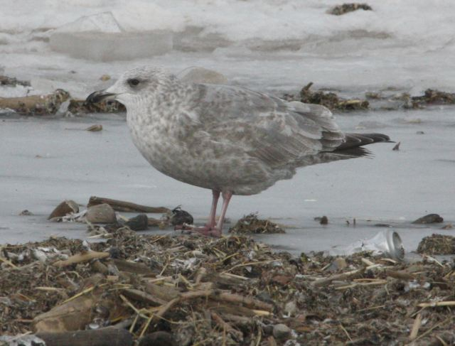 Thayer's Gull (2nd cycle)