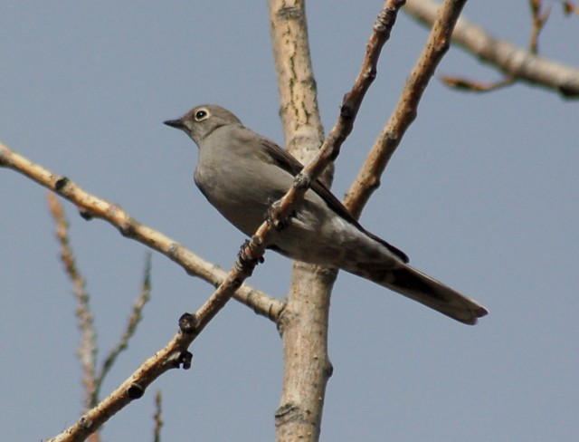 Townsend's Solitaire (adult)