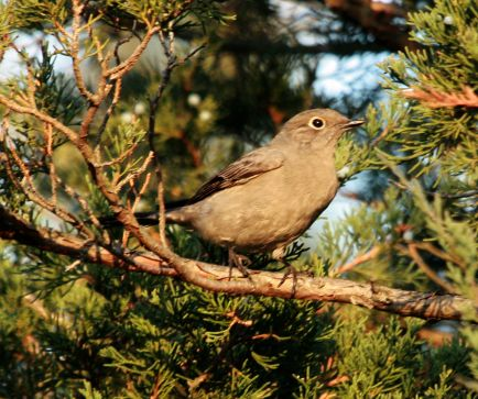 Townsend's Solitaire photo #2