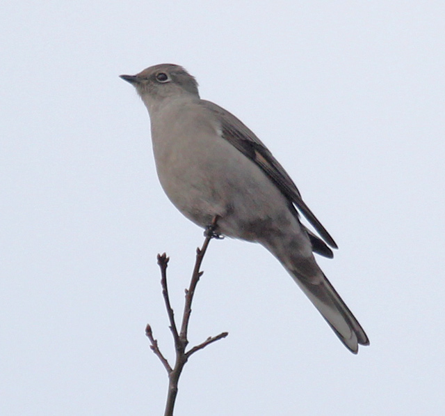 Townsend's Solitaire photo #1