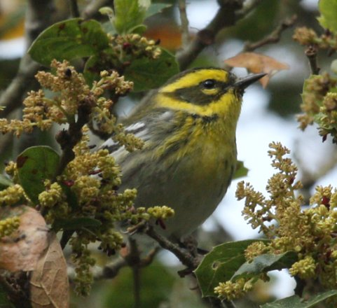 Townsend's Warbler (spring adult female)