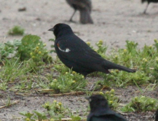 Tricolored Blackbird photo #2