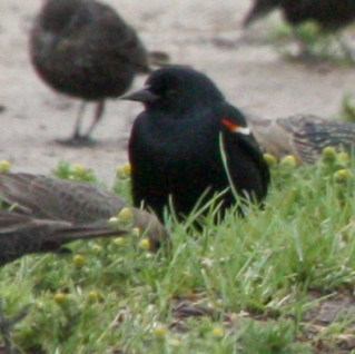 Tricolored Blackbird photo #1