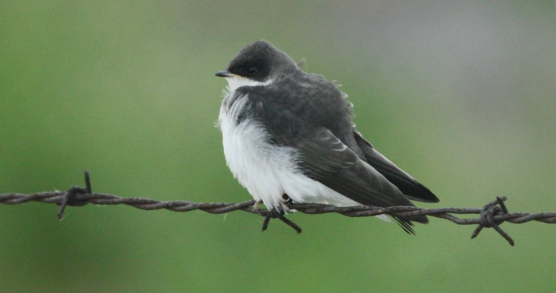 Tree Swallow (juvenile)