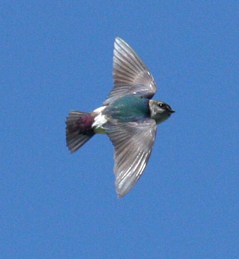 Violet-green Swallow photo #1