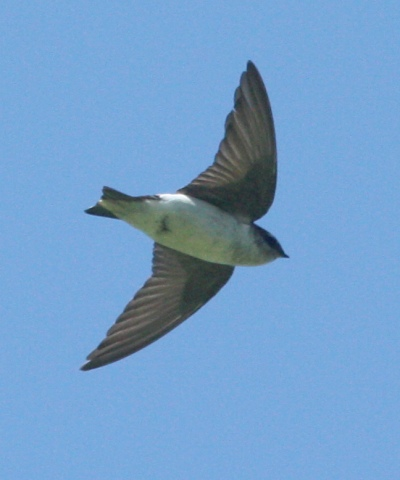 Violet-green Swallow photo #2