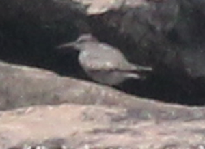 Wandering Tattler (adult) photo #2