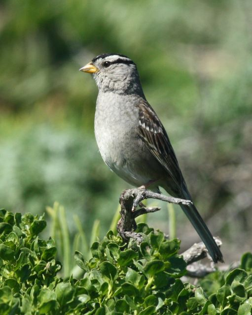 White-crowned Sparrow photo #3