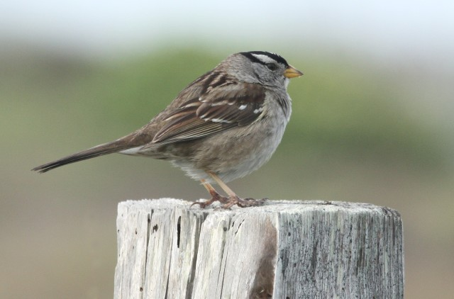 White-crowned Sparrow photo #1