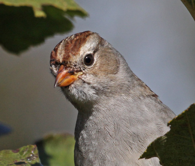 White-crowned Sparrow (1st year)