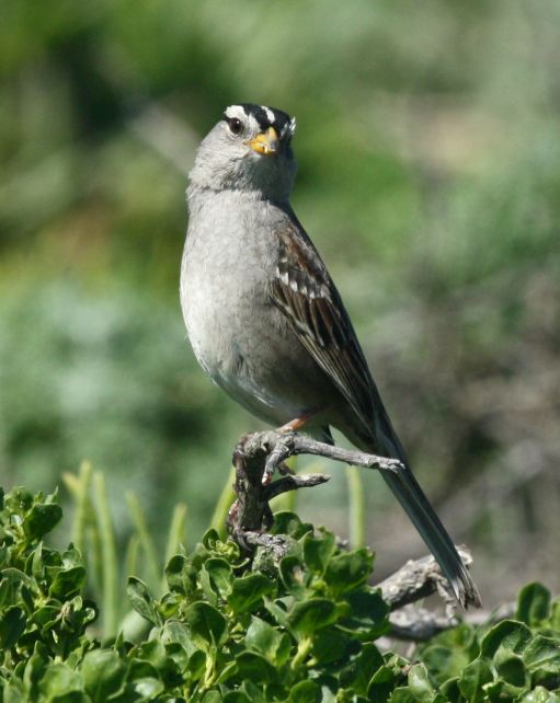 White-crowned Sparrow photo #4