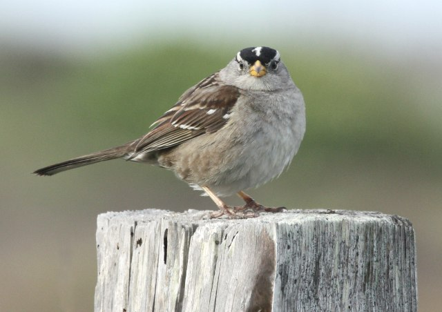 White-crowned Sparrow photo #2