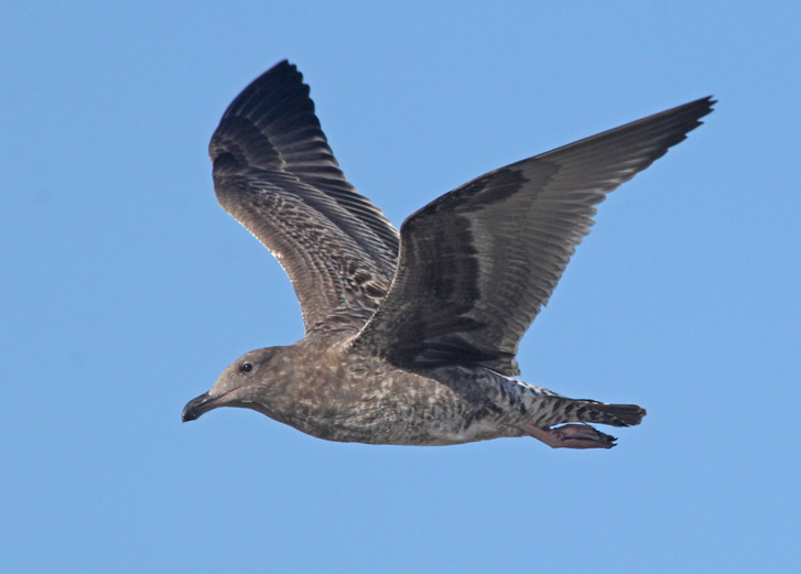 Western Gull (1st cycle in flight)