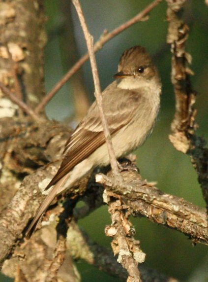 Western Wood-Pewee  photo #2
