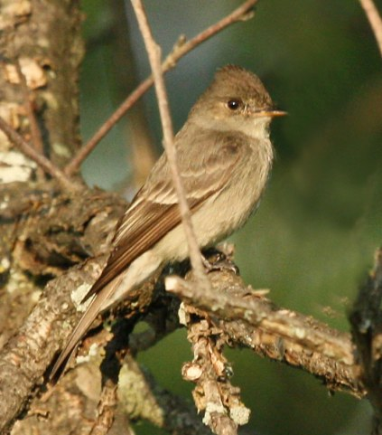 Western Wood-Pewee  photo #1