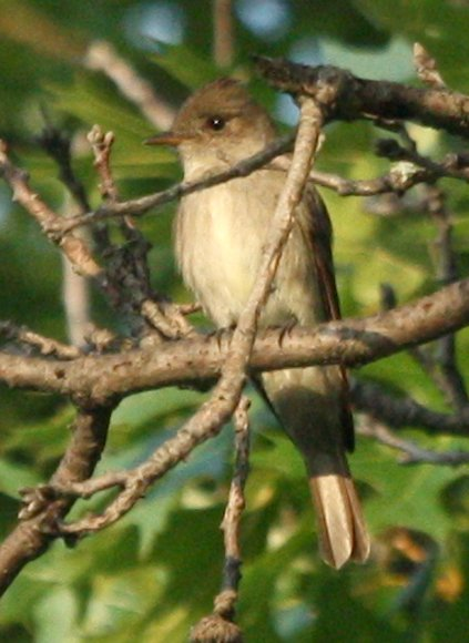 Western Wood-Pewee  photo #3