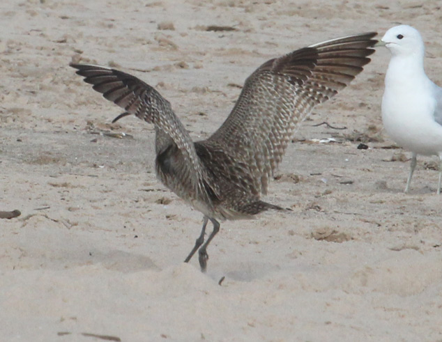 Whimbrel (adult in flight)