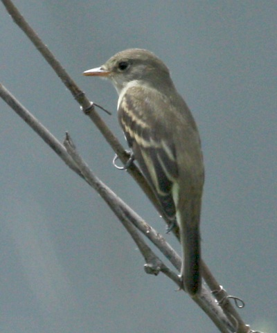 Willow Flycatcher (juvenile)