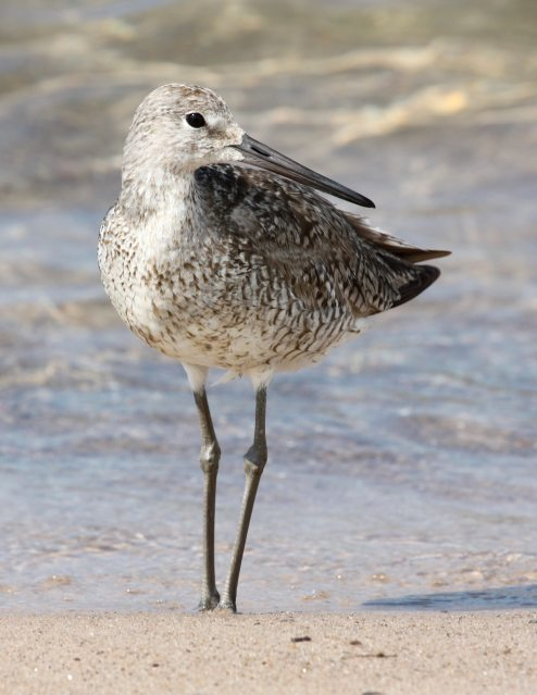 Willet (Fall adult) photo #1