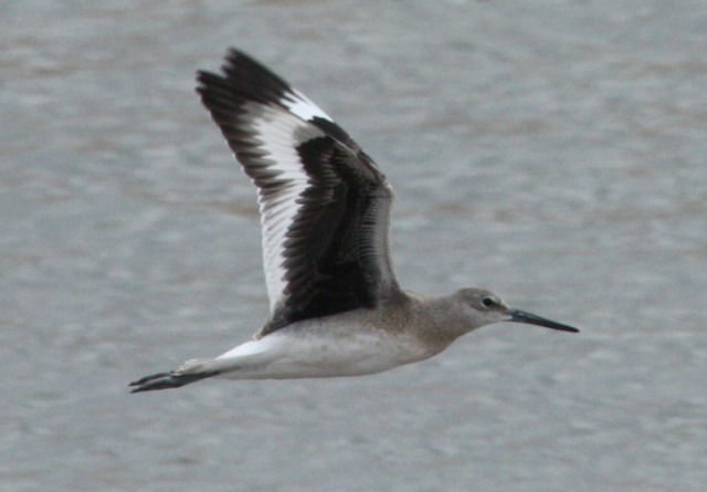 Willet (juveniles in flight)