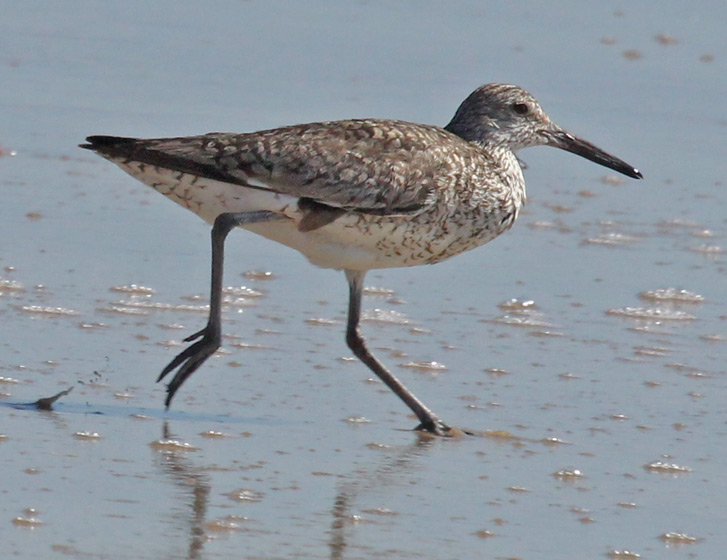 Eastern Willet Photo 2