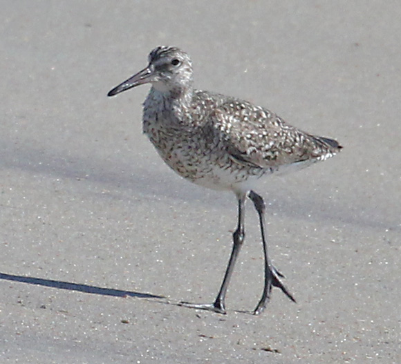 Eastern Willet Photo 3