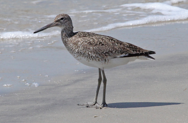 Eastern Willet Photo 1