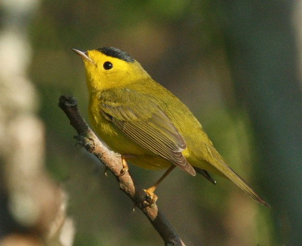 Wilson's Warbler photo #1