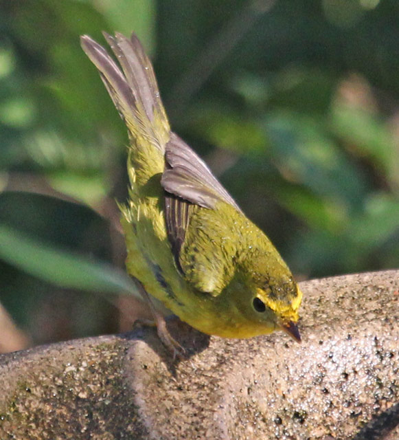 Wilson's Warbler Photo 1