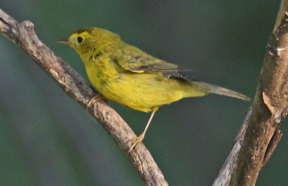 Wilson's Warbler Photo 2