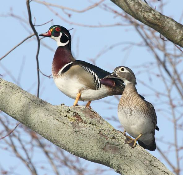 Wood Duck Photo 5