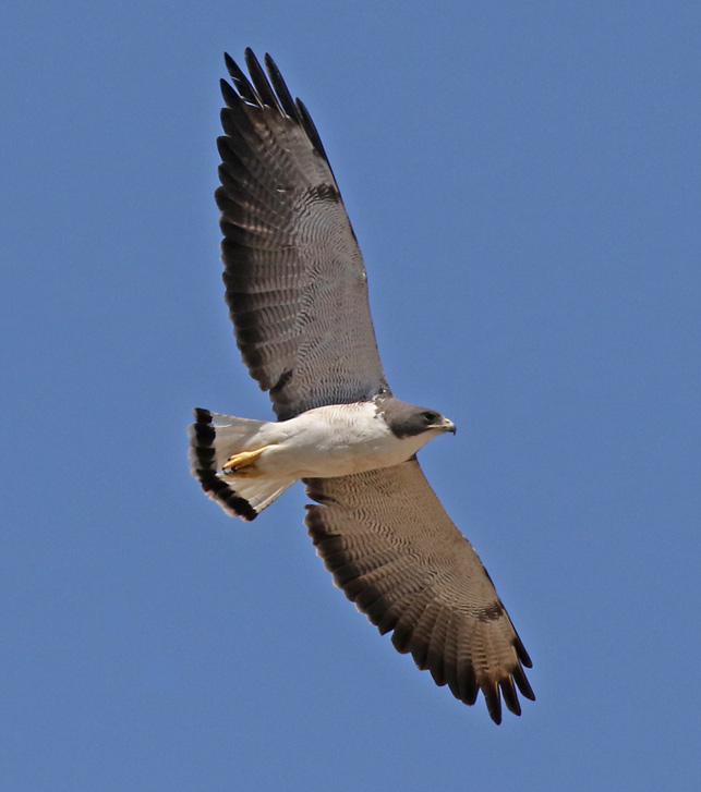 White-tailed Hawk (adult in flight)