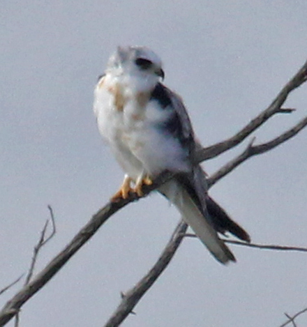 White-tailed Kite (adult)