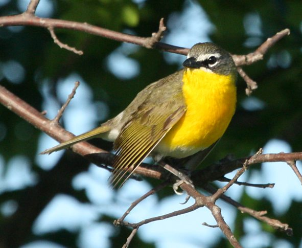 Yellow-breasted Chat Photo #1