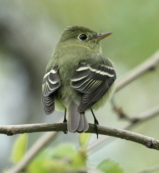 Yellow-bellied Flycatcher photo #4