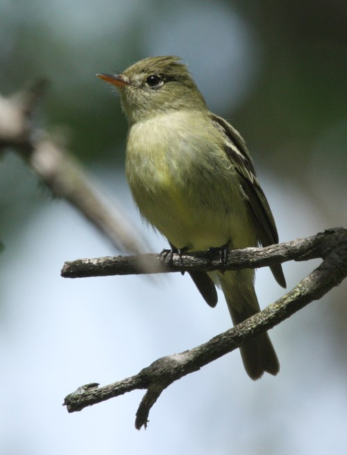 Yellow-bellied Flycatcher photo #2