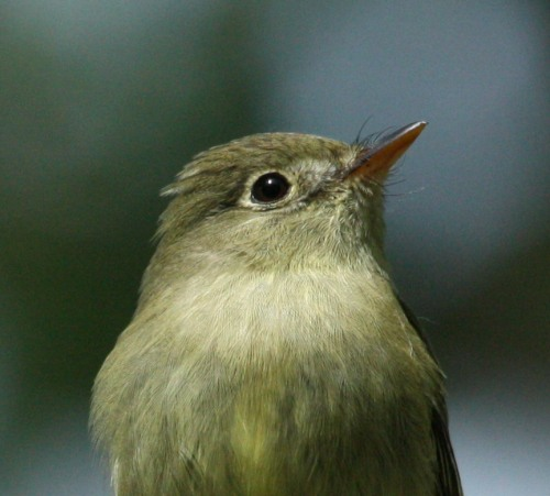 Yellow-bellied Flycatcher photo #3