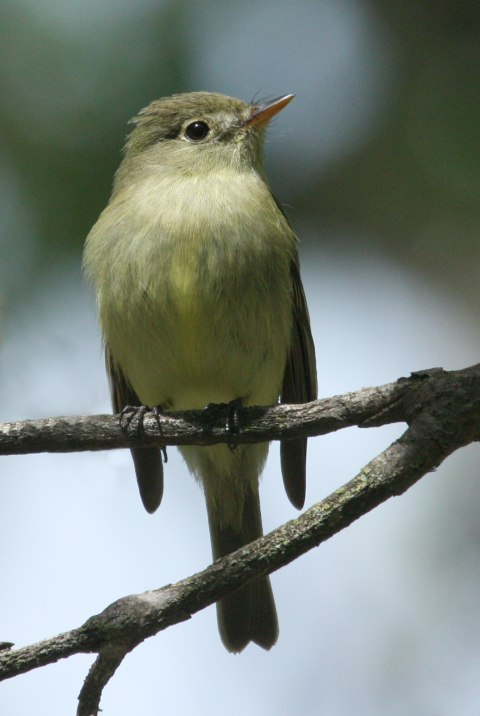 Yellow-bellied Flycatcher photo #1