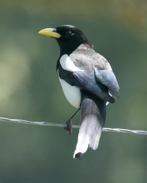 Yellow-billed Magpie photo 2