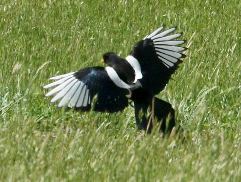 Yellow-billed Magpie photo 3