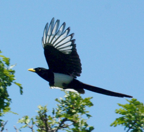 Yellow-billed Magpie photo 4