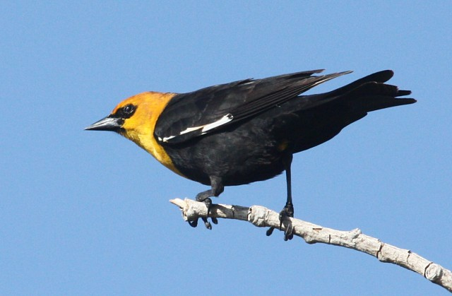 Yellow-headed Blackbird photo #2