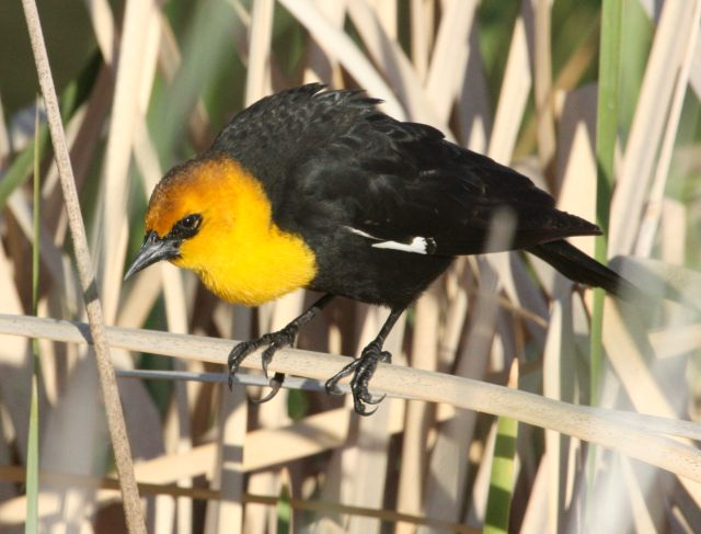 Yellow-headed Blackbird photo #4