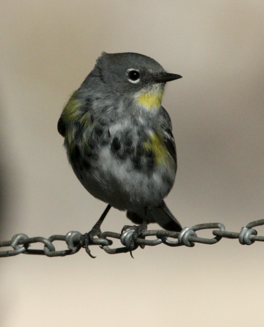 Yellow-rumped Warbler photo #2