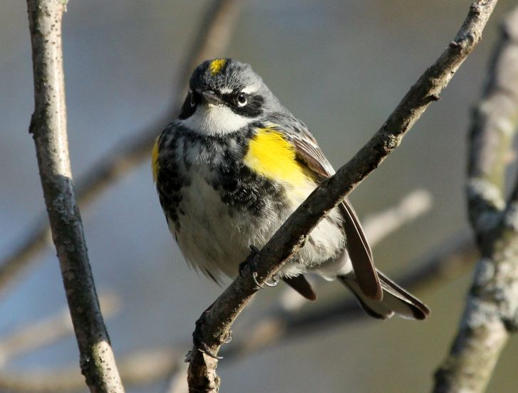 Yellow-rumped Warbler photo #3