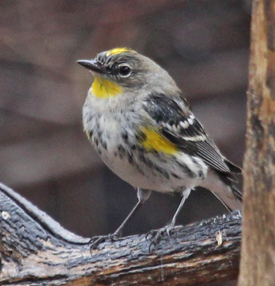 Yellow-rumped Warbler (fall Audubon's form)