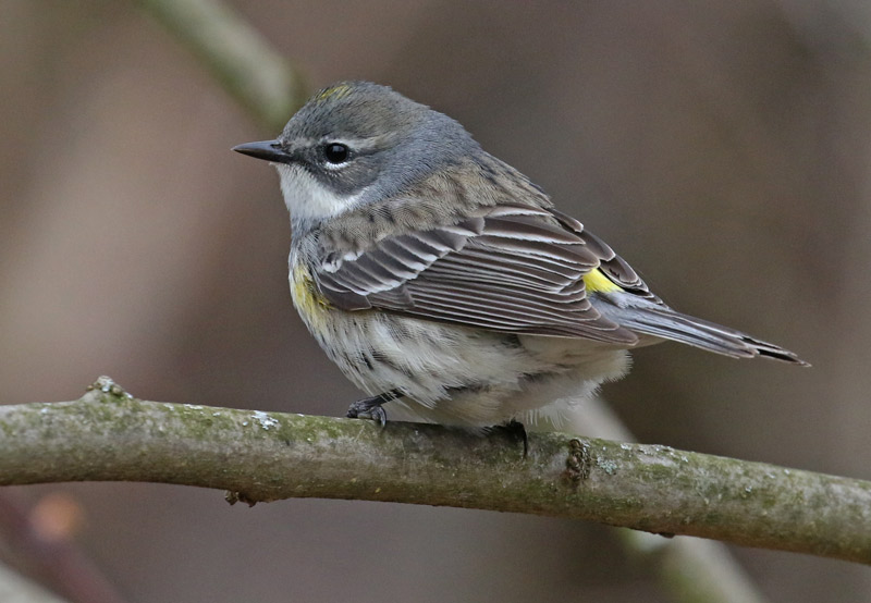 Yellow-rumped Warbler photo #1